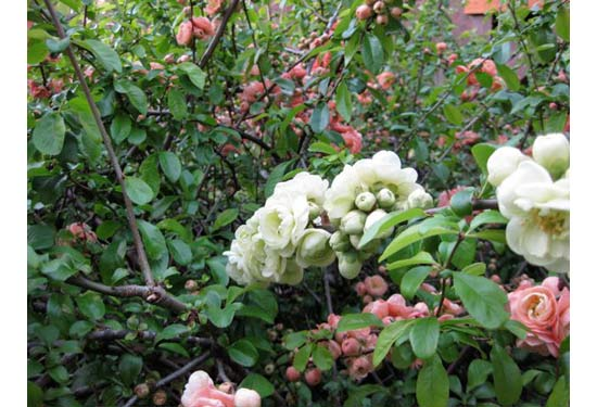 white flowers on salmon quince